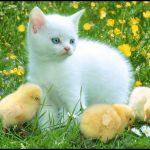 En güzel civciv kedi resimler