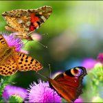 Kelebek ve çiçek resimleri