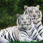 Bengal Kaplanı Resimleri