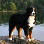 Bernese Dağ Köpeği Resimleri