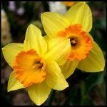 Nergiz Çiçeği Resimleri