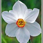 En güzel nergiz çiçeği resimleri