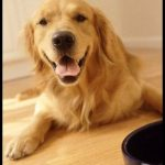 Golden Köpek Resimleri