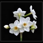 Nergiz çiçeği 2020