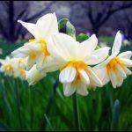 Nergiz çiçeği facebook