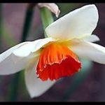 Nergiz çiçeği facebook için