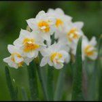 Nergiz çiçeği fotoğrafları