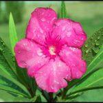 Zakkum Çiçeği Resimleri