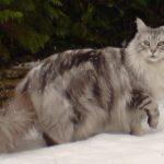 Maine Coon Kedi Resimleri