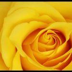 Sarı gül görselleri