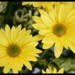 En Güzel Sarı Papatya Resmi