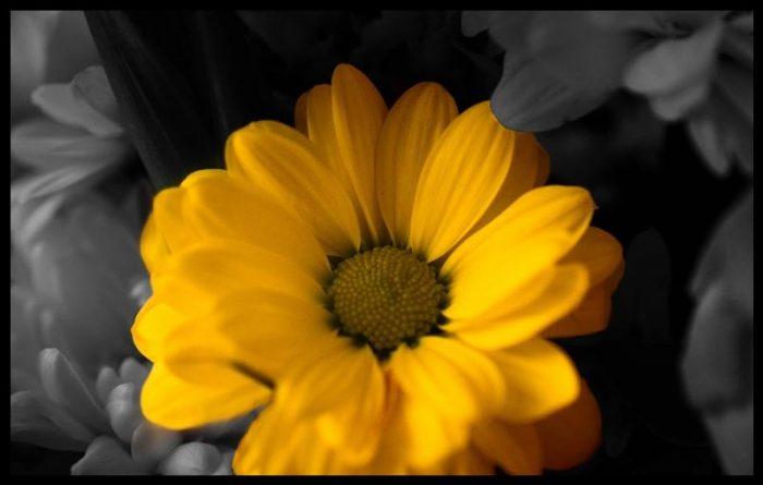 Sarı papatya kapak resimleri