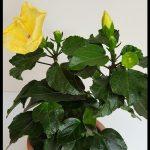 Sarı japon gülü çiçeği