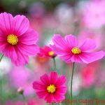 Gelincik çiçek resimleri
