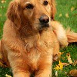 Golden retriever cinsi