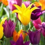 Lale çiçek resimleri