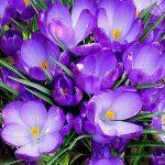 Leylak çiçek resimleri