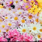 Papatya çiçek resimleri