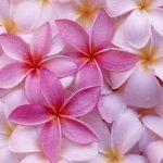 Pembe çiçek resimleri