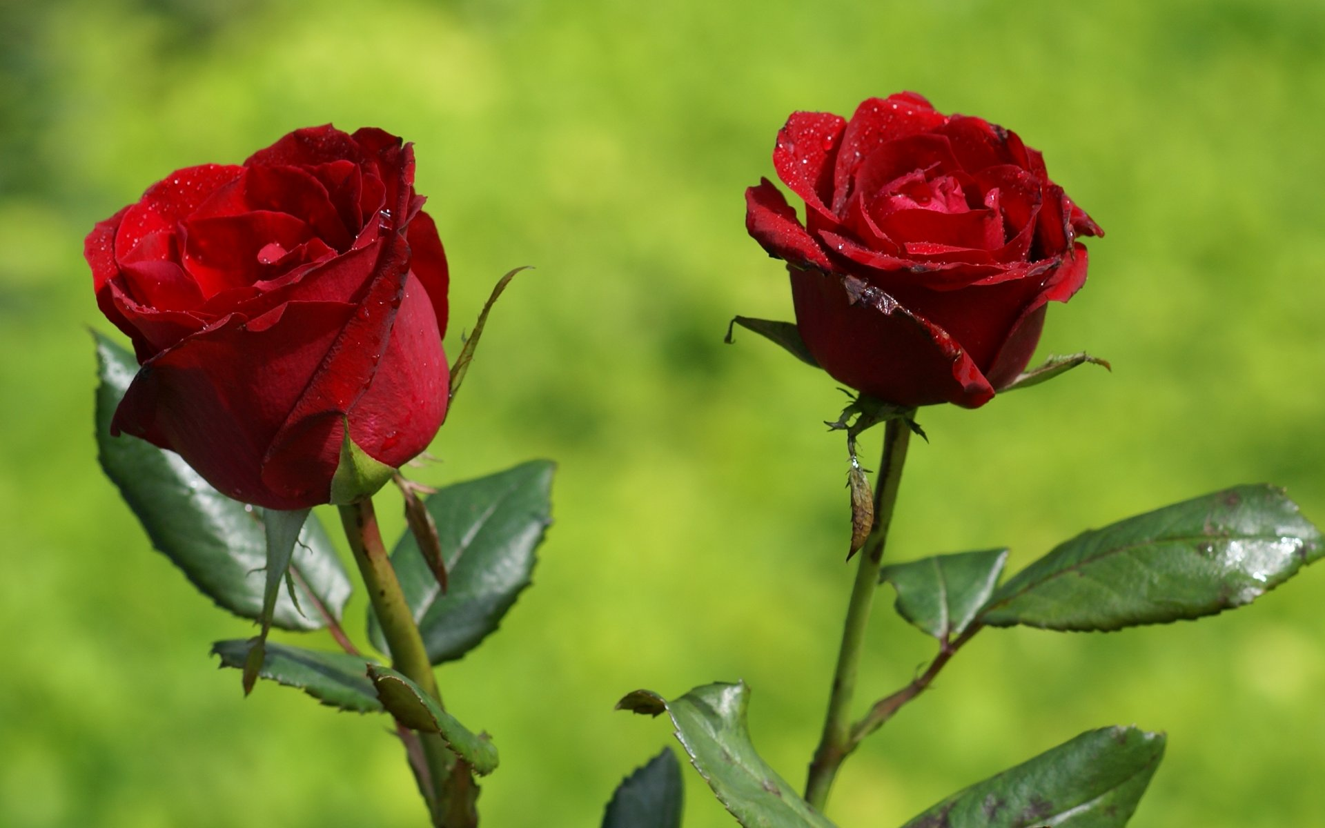 Romantik Gül Resimleri
